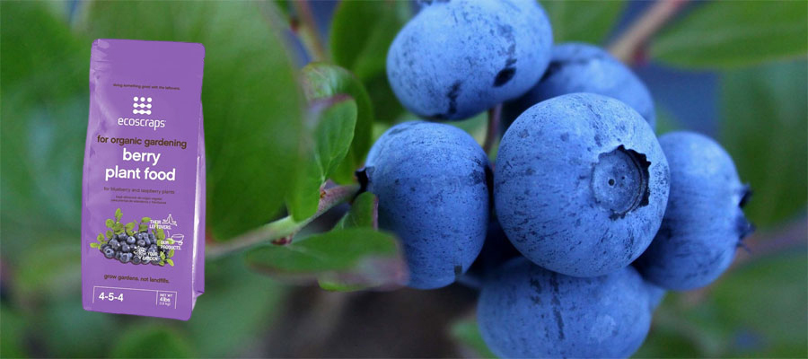 Best Fertilizers for Blueberries